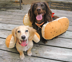 Honey and Teddy (Doxieone) Tags: dog brown hot cute english fall dogs halloween hotdog costume long charlotte chocolate yes pair cream northcarolina pals dachshund honey blonde carolina haired pup1 bun coll doxie longhaired honeydog englishcream teddyset honeyset fallhalloween200672008set ddate