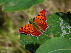 Question Mark Butterfly (squatchman) Tags: autumn vacation orange macro green fall nature wisconsin outdoors amber oneofakind butterflies insects bugs lepidoptera doorcounty flyinginsects thenatureconservancy insectsandspiders insectsspiders doorcountywisconsin wunderground anythingnature allthingsbeautifulinnature 10millionphotos insectphotography beautifulbutterflies butterflybeauty macrophotosnolimits flickrinsects butterflygallery butterfliesofwisconsin doorcountycompass