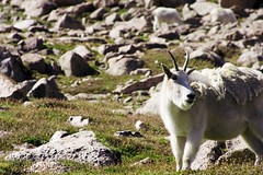 Mt. Evans (Chris Hibner) Tags: goat mtevans