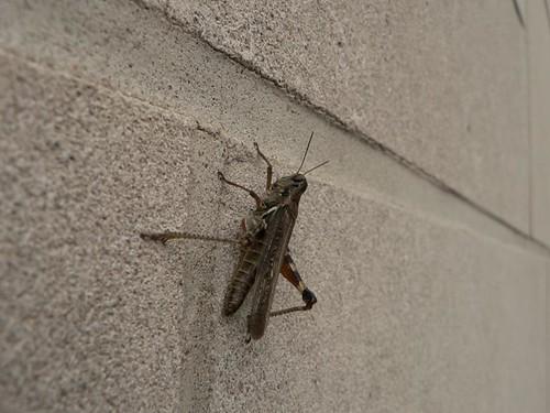Oak Park Grasshopper