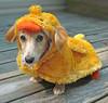 Doxie Duckling (Doxieone) Tags: orange dog cute english fall halloween yellow puppy fun duck costume funny long charlotte mosaic cream dachshund deck honey final blonde second hi pup haired pup1 2007 coll longhaired honeydog topfavorite page29 charlotteobserver englishcream anawesomeshot lmaoanimalphotoaward 4monthsoldnow 13723926 18526927 21026929 523391021 119922 100552043008 116353082008 1238539708 132354092208 set1690100308 142555100308 set244100608 set27510102008 15581551013080 set290101408 set34410272008 fallhalloween200672008set fixset