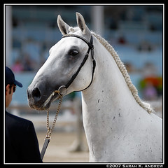 A Noble Face (Rock and Racehorses) Tags: portrait horse grey september pa devon 250 noble lipizzaner dressage lipizzan spanishridingschool favory dressageatdevon favoryveronaii