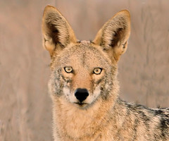 Coyote in the Santa Rosa Plateau (kjdrill) Tags: california coyote usa animal wildlife murrieta santarosaplateau canislatrans 145b prariewolf