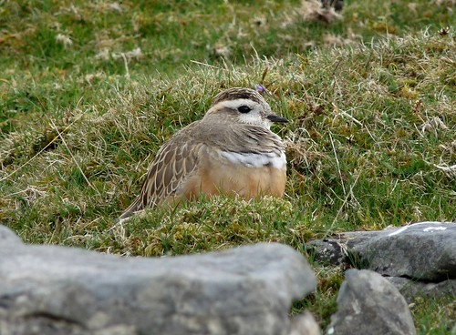 12430 - Dotterel at Cefn Cadlan