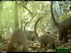 White-nosed Coati (siwild) Tags: bci nasuanarica whitenosedcoati taxonomy:group=othercarnivores othercarnivores sequence:index=97 taxonomy:species=nasuanarica taxonomy:common=whitenosedcoati siwild:study=fruitingpalmtrees siwild:studyId=panapalm siwild:plot=25 siwild:Rank=0 geo:locality=panama file:name=img1080jpg sequence:length=320 siwild:imageid=792221 file:path=dpicsrunsattamammalsvplot6c3img1080jpg siwild:location=1886 siwild:camDeploy=1363 sequence:id=37104 siwild:date=200908151459000 siwild:trigger=80852 siwild:region=panama siwild:species=130 sequence:key=160 geo:lon=9151694 geo:lat=7983362 BR:batch=sla0620110103051642