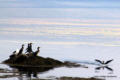 Dlaskarfur - Great Cormorant (PHOTOTONY G.G) Tags: flikcr fuglar