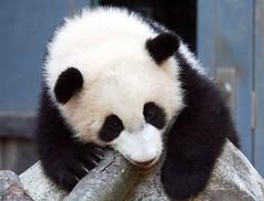 Widdle lani (somesai) Tags: animal animals smithsonian panda pandas