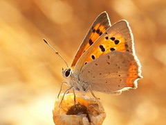 lycaena phlaeas - by joaquinportela