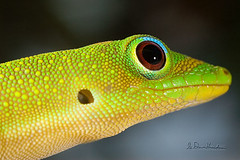 Adopt the pace of nature: her secret is patience. (wildphotons) Tags: gecko phelsuma laticauda hawaii naturesfinest specanimal flickrsbest animalkingdomelite anawesomeshot soe