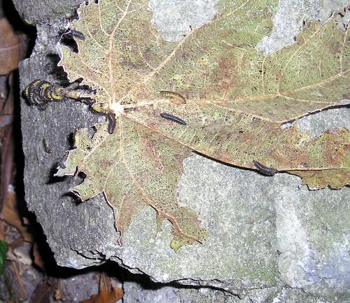 Fig Tree Bugs_02