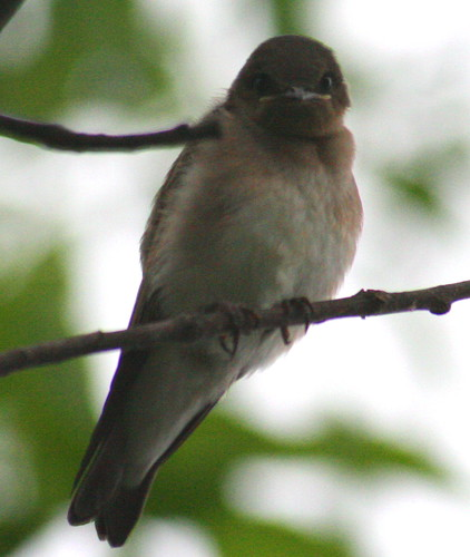 northern rough winged swallow close