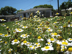 Daisies_1271 (raphaelmazor) Tags: california longbeach lakewood asteraceae phasei outdooradventures anthemiscotula lbna westsangabrielriverparkway lakewoodcityparks