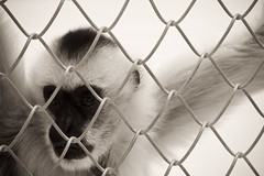 Captivity (Cameron Booth) Tags: usa animal oregon fence portland geotagged mammal wire unitedstatesofamerica primate washingtonpark oregonzoo whitecheekedgibbon geo:lat=4550897692583221 geo:lon=1227131880929904