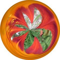 dumpr circle daylily