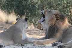 Leoncio the lion yawns