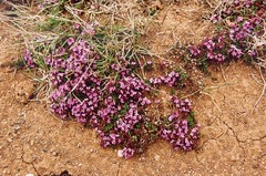 fleurs-1 (alain_borie) Tags: iceland 2006 christophe alain patrol islande vro elose gadic 650dr