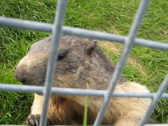 marmot! (Havercuse) Tags: switzerland marmots rochersdenaye