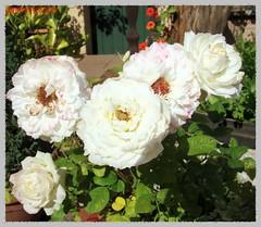 weiße Sommerrosen