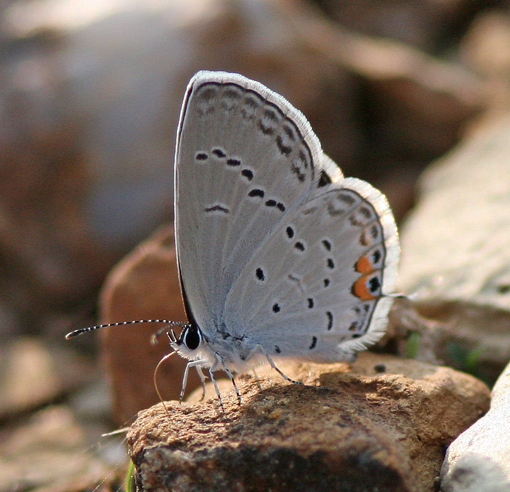 Butterfly genus species - Summer Azure Butterfly