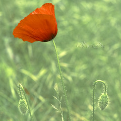 le coquelicot (iki-photos) Tags: coquelicot imageourtime magicsquarepoetry