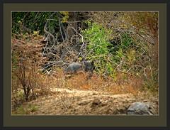 leopard wildboar srilankaleopard pantheraparduskotiya flickrbigcats
