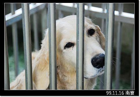 「揪團中」即將從新竹南寮收容所救出的黃金獵犬小姐,過去只是一場夢饜,現在與未來他需要您的支援與幫助,20101119