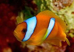 Red Sea Anemonefish (graspnext) Tags: underwater redsea scuba diving photofaceoffwinner pfogold