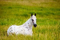 Flicka (riclane) Tags: horse ontario equine globalvillage flickrsbest nikonstunninggallery globalcity ultimateshot superbmasterpiece ishflickr invitedphotosonly gvadminshalloffame itsabeautifulgv 1on1animalsnonpetsphotooftheday 1on1animalsnonpetsphotoofthedayjune2007