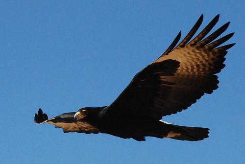 Black Eagle Closeup