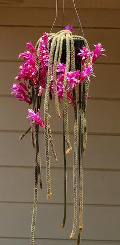 Rat-tail cactus, via Flickr: pat626