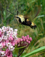 Snowberry Clearwing, sipping from Milkweed (Benimoto) Tags: park ohio macro nature rose bug insect insects bugs toledo swamp milkweed wildwood bugsex metropark snowberry snowberryclearwing hemarisdiffinis swampmilkweed asclepiasincarnata clearwing rosemilkweed
