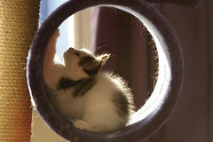 Kaylee in scratching pole (Mandy Verburg) Tags: pet animal female cat kitten kat feline pussy kitty ek scratch huisdier dier poes kaylee krabben katachtige krabpaal cyper thebiggestgroup mandyarjan thebiggestgroupwithonlycats scratchingpole