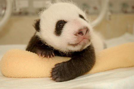 862969788 046cc1d652 Newly Born Pandas