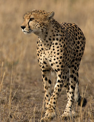 Cheetah (Lyndon Firman) Tags: africa canon eos kenya shots safari 1d cheetah outstanding masaimara naturesfinest outstandingshots flickrsbest animalkingdomelite speanimal superbmasterpiece naturewatcher