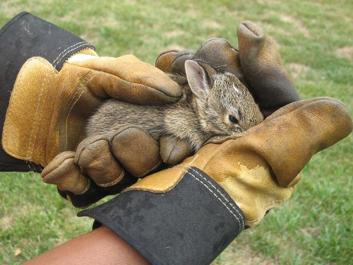 Wild Kingdom In Backyard- Baby Bunny