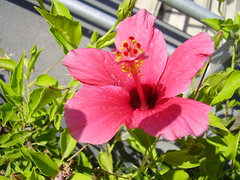 pink hibiscus (THE SHOW MUST GO ON) Tags: pink flowers macro verde green nature colors leaves foglie petals ombra rosa natura hibiscus shade fiori petali colori