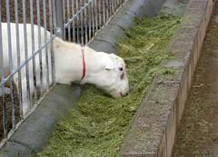 ram eating haylage