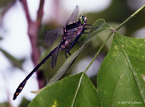 Black Saddlebags Dragonfly/ Female