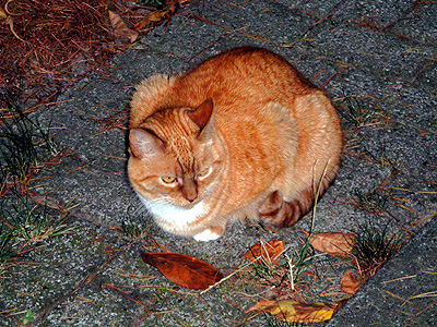 Gato naranjo