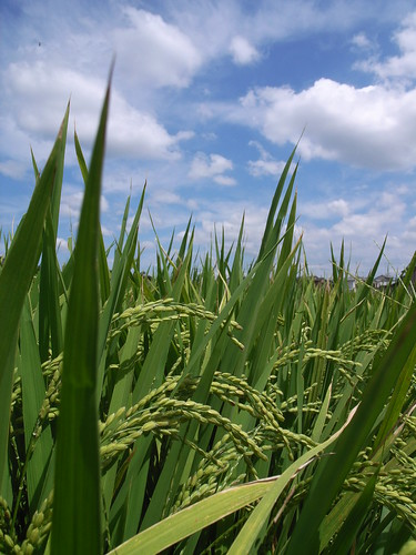 Rice plant under the sky