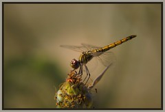 Natura (Felix Cifuentes) Tags: flower macro nature fly dragon flor libelula