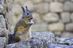 Machu Picchu: Viscacha