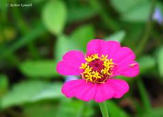 Wild Flower - Magenta