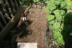radish plot