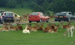 longleat safari park (P.J.W) Tags: park animals safari lions wiltshire longleat safaripark warminster pjw lordbath