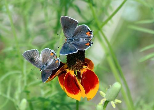 butterflies wildflowers grapevine mexicanhat strymonmelinus grayhairstreak ratibidacolumnaris beautifulworldchallenges horseshoetrailspark