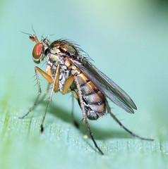 Dolichopus cf plumosus male  (Dolichopodidae) (BSCG (Badenoch and Strathspey Conservation Group)) Tags: acm