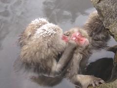 Shiga-Kogen, Japan Snow Monkeys
