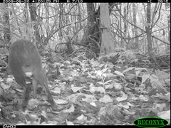 Central American Agouti (siwild) Tags: bci centralamericanagouti dasyproctapunctata rodentsandrabbits taxonomy:group=rodentsandrabbits sequence:index=97 siwild:study=fruitingpalmtrees siwild:studyId=panapalm file:name=img1028jpg siwild:Rank=0 geo:locality=panama taxonomy:species=dasyproctapunctata taxonomy:common=centralamericanagouti sequence:length=120 sequence:id=29453 siwild:imageid=589537 file:path=dpicsrunsastromammalsvshac1img1028jpg siwild:plot=60 siwild:location=1841 siwild:camDeploy=1319 siwild:date=200906201620000 siwild:trigger=60498 siwild:region=panama sequence:key=60 siwild:species=119 geo:lon=9153306 geo:lat=79838038 BR:batch=sla0620110103051642