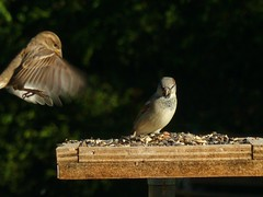 Incoming! (Sunset~Beauty) Tags: brown ontario canada green birds animals lumix wings backyard eating feathers panasonic sparrow dmczs7